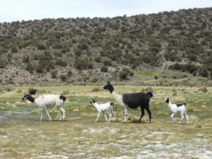 lama-beatles-parc-sajama-bolivie