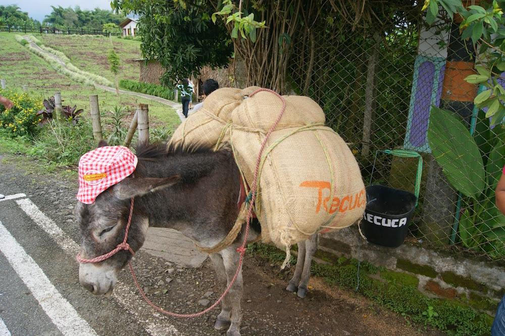 Âne pour le ramassage du café en Colombie
