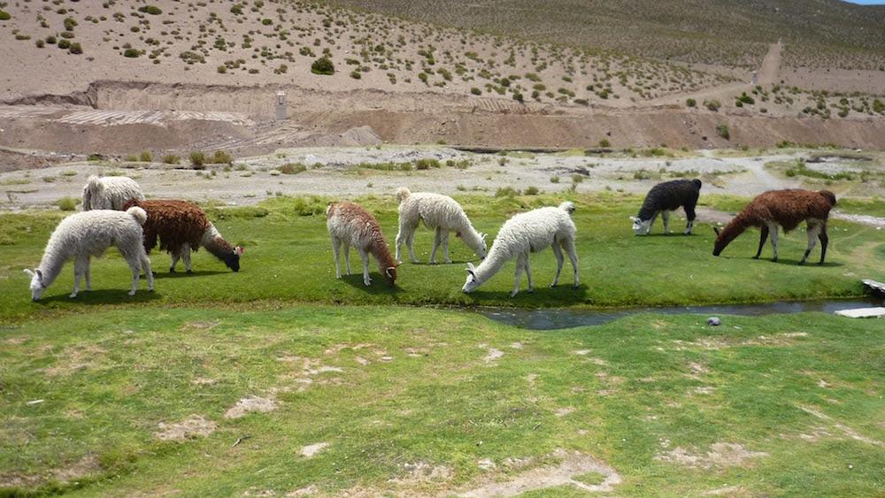 élevage de lamas sud lisez bolivie