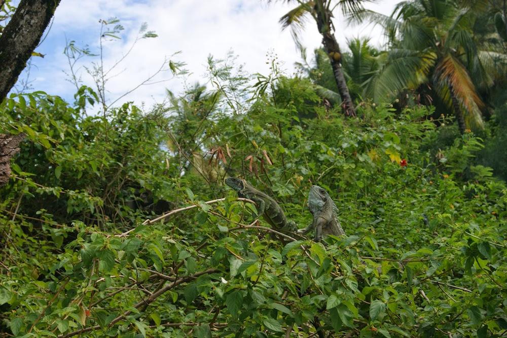 Iguanes sur les iles du salut en Guyane