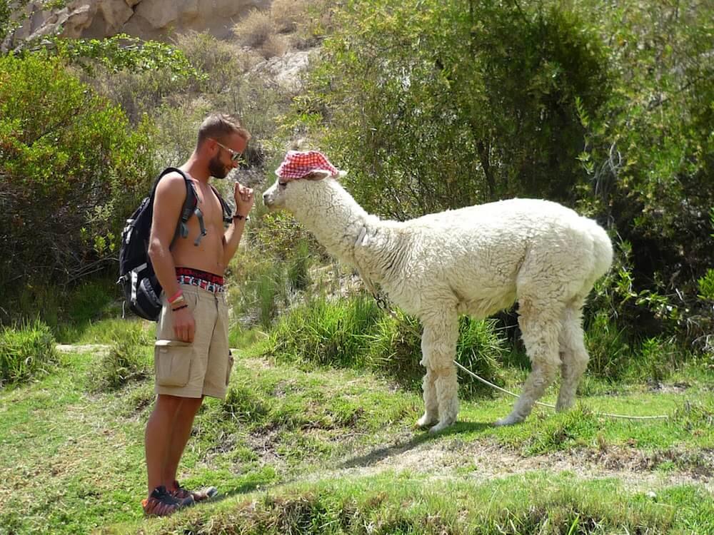 lama cochonou Yura Pérou