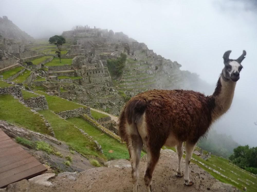 lamas du machu picchu lors du trek inca jungle