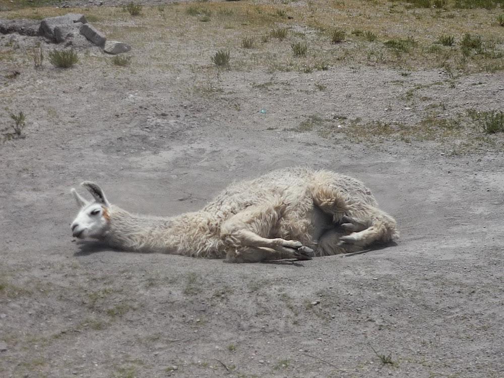 roulade de lama