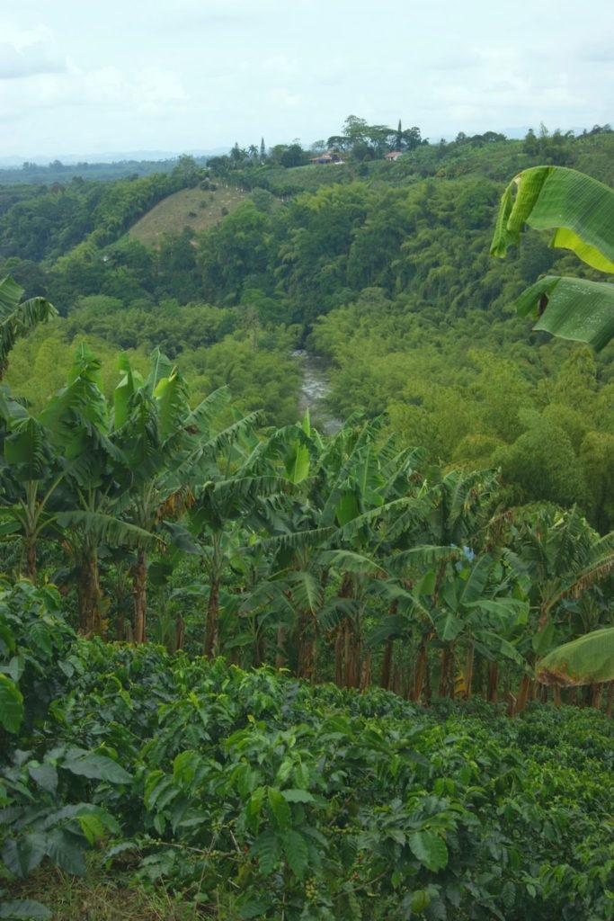 plantation de café et bananiers Recuca Colombie