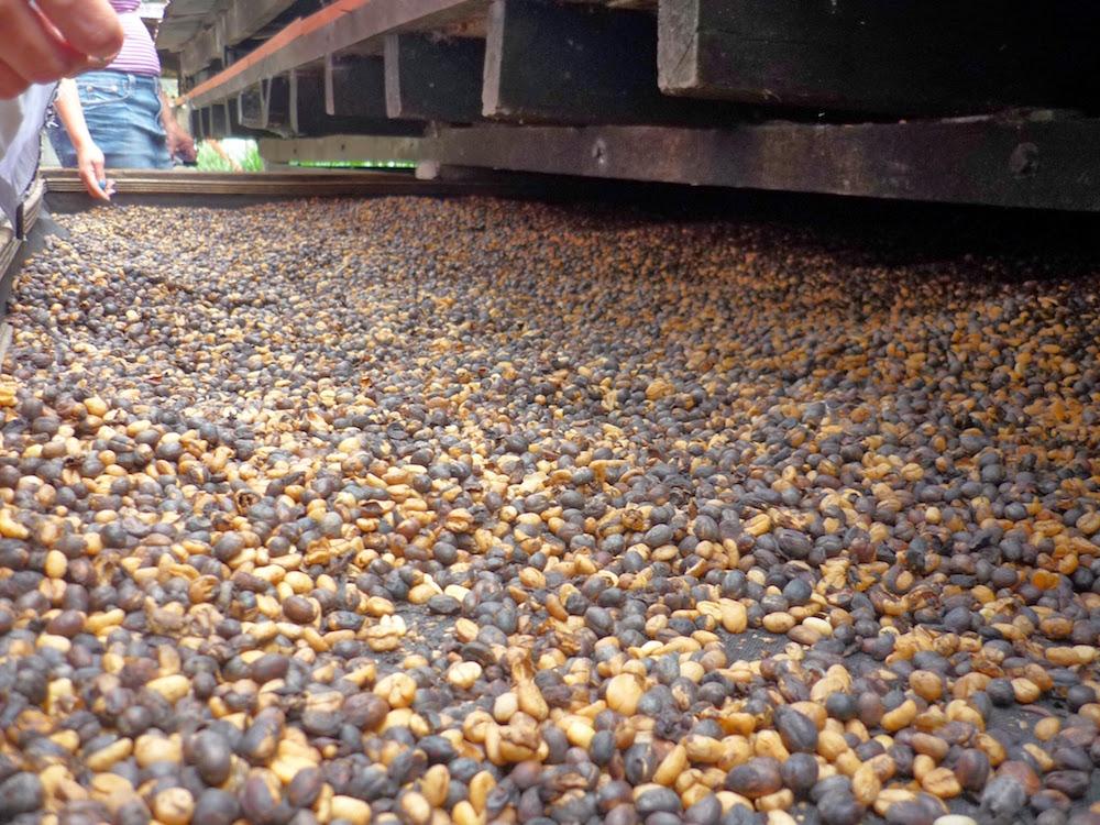 séchage des grains de cafés, plantation recuca Colombie