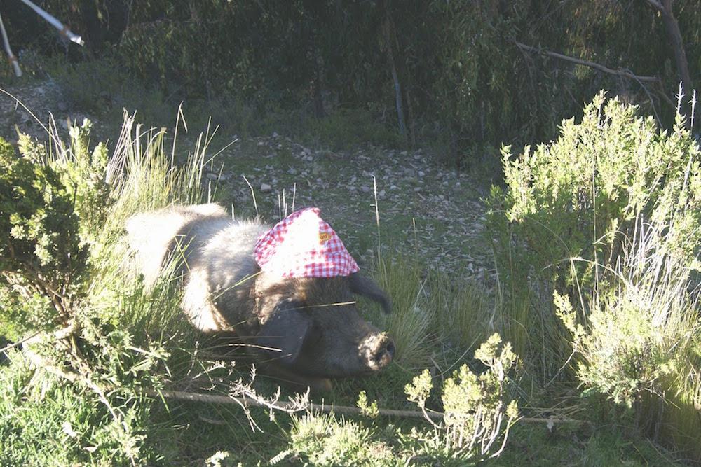 porc sauvage lac titi caca - cochonou