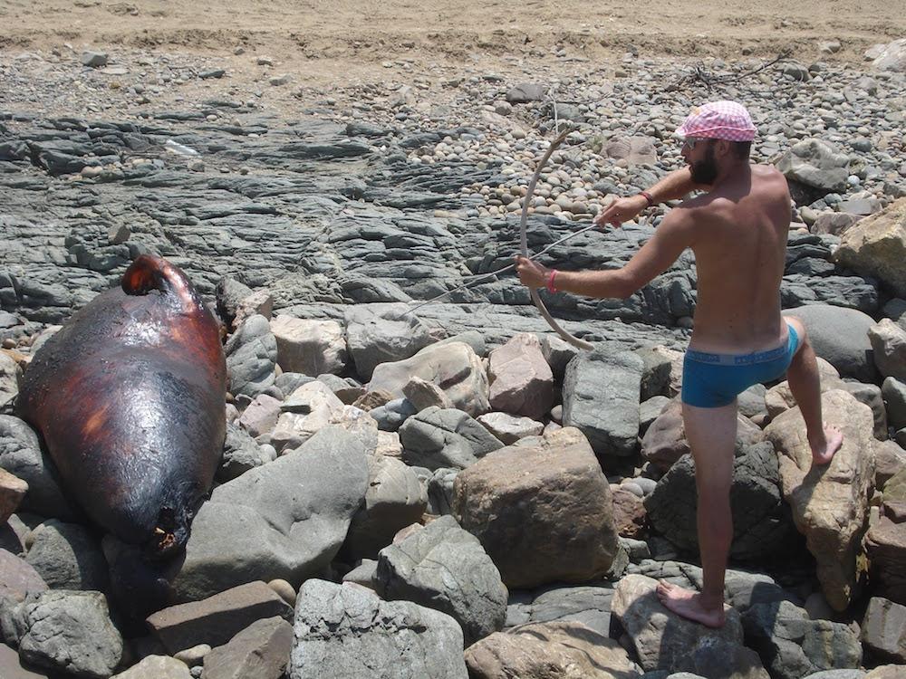 chasse à l'éléphant de mer