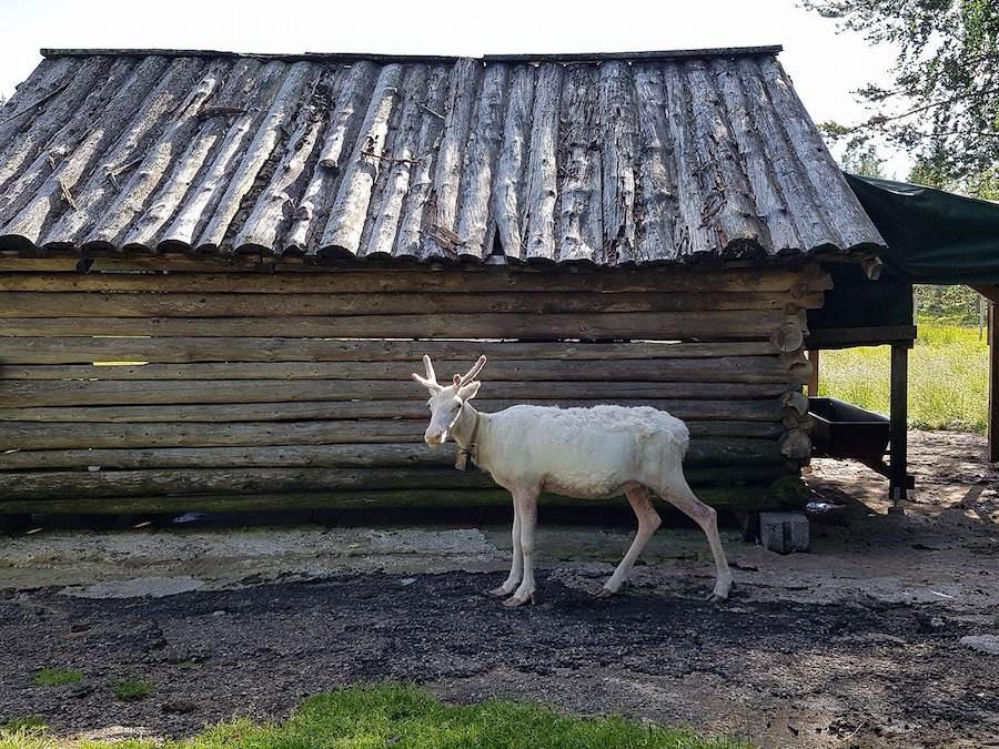 Renne blanc en Laponie