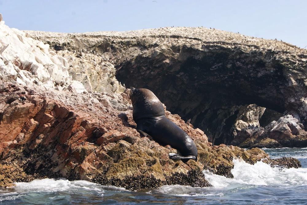 Loup de mer aux iles Ballestas Pérou
