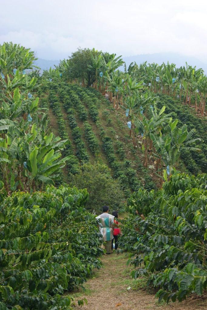 Plantation de café recuca - zona cafetera Colombie